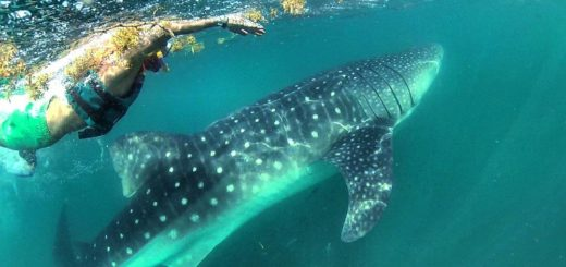 nado tiburon ballena