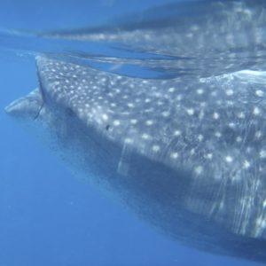 tiburon ballena tour